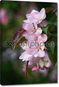 Яблоня цветет в начале мая