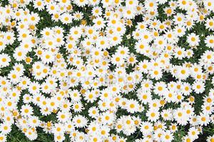 Фон из красивые белые ромашки