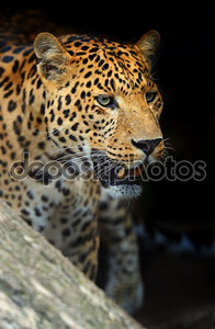 Портрет рычащего леопарда