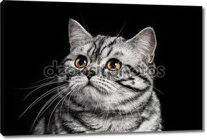 Мраморный британский Кот