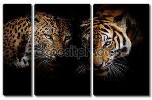 Леопард с голубыми глазами & Тигр изолировать черный фон