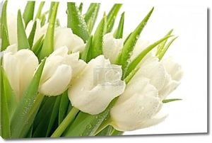 Свежие белые тюльпаны
