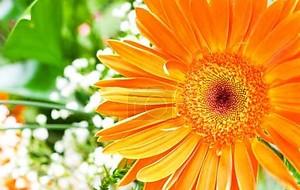 Оранжевые герберы цветок адресованные зеленый
