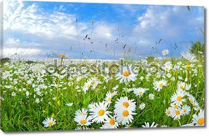 Многие цветы ромашки в голубое небо.