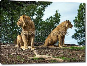 красивые львы в сафари-парке