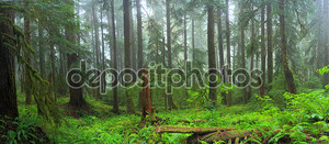 Дождевой лес hoh