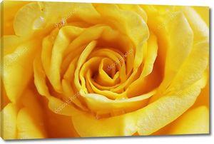 Роза крупным планом