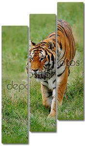 Амур или Сибирский тигр
