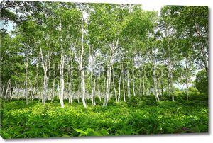 белого леса березы.