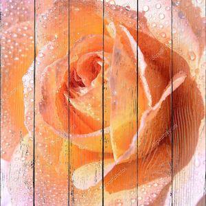 Персиковая роза