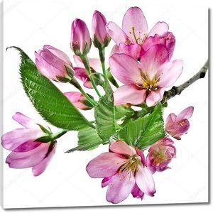 Цветки сакуры на белом