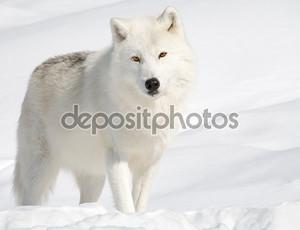 Мелвильский островной волк на снегу