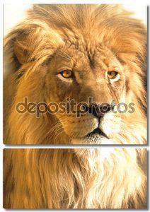 Африканский лев портрет, panthera leo