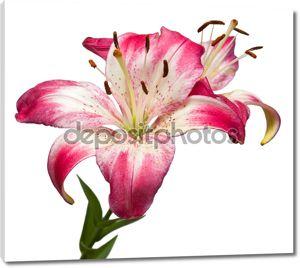 Белые и розовые лилии