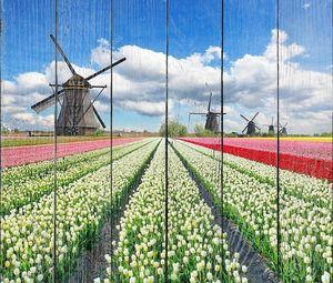 Тюльпаны с голландскими ветряными мельницами
