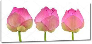 Розовый лотос на белом фоне