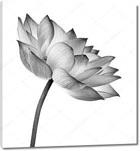 Цветок черно-белый лотоса на белом фоне