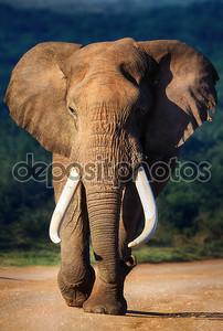Слон приближается