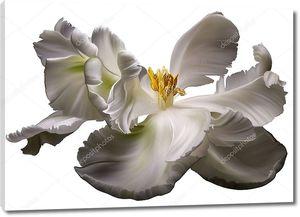 Белый тюльпан на белом фоне