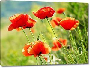 Красные маки на зеленом поле