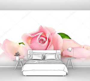 Розовая нежная роза на белом фоне