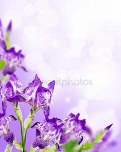 Цветы ирис фон