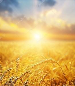 Пшеница золотая поле и закат