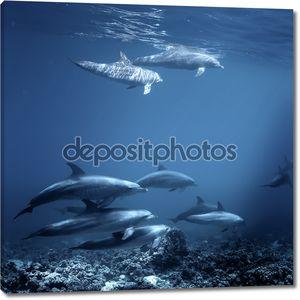 Семейство дельфинов афалин Красного моря