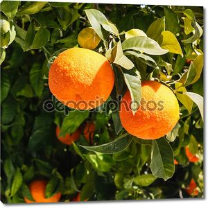 Bitter oranges growing on tree