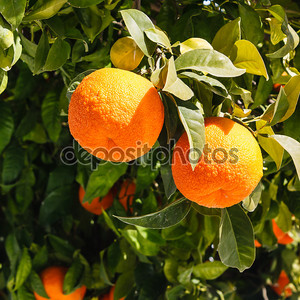 Bitter oranges growing on tree