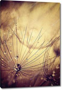 Капли росы на сухой голове одуванчика