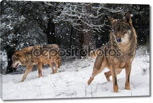 Пара иберийского волка с голубыми глазами в снегу