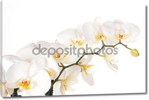 Красивые белые цветки орхидеи