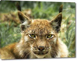 портрет европейской рыси (рысь рыси)