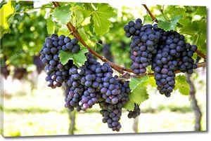 Виноград с зелеными листьями на лозе