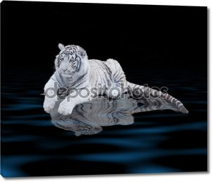 Белый тигр у воды на черном