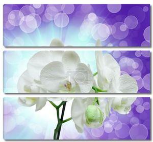 Два цветка орхидеи