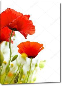 Фон цветы белые Маки полевые цветы