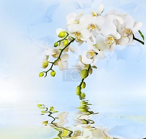 красивая белая орхидея