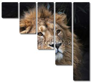 взгляд азиатского льва в лесной тени. спокойствие короля зверей, большой кошкой в мире. наиболее опасные и могучий хищник мира. площадь изображения