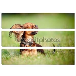Small dog russian toy enjoying the sun