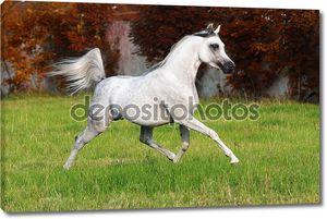 Белая аравийская лошадь