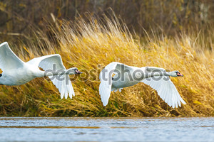 Два летящих лебедя