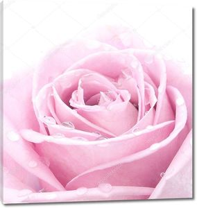 Розовая роза с капельками воды
