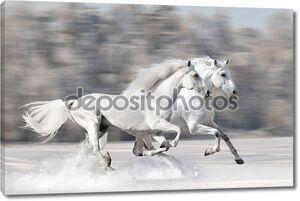 Две белые лошади зимой запустить Галоп