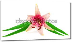 Красивый розовый цветок лилии