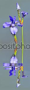 Цветы ирис над водой