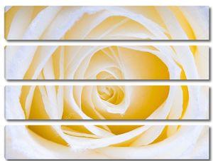 Белый розовый макрос розы