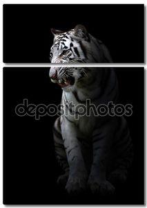 white bengal tigerin the dark