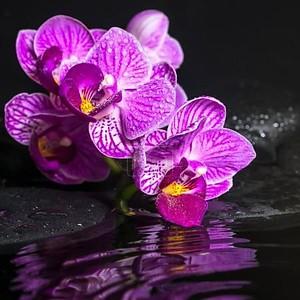 Концепция спа красивых ветвей раздели Сиреневая Орхидея (phalaen